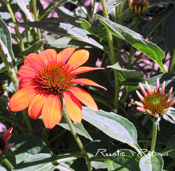 The best flowers to put in a garden - coneflowers