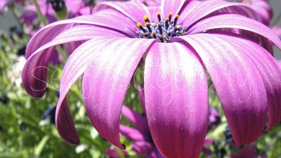purple African daisy