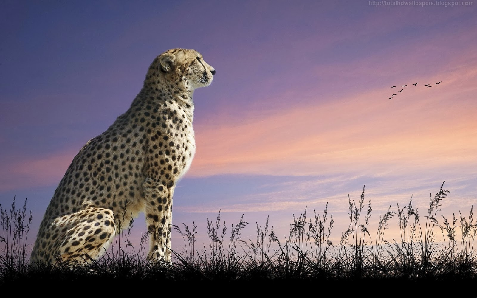 Cheetah HD Wallpapers