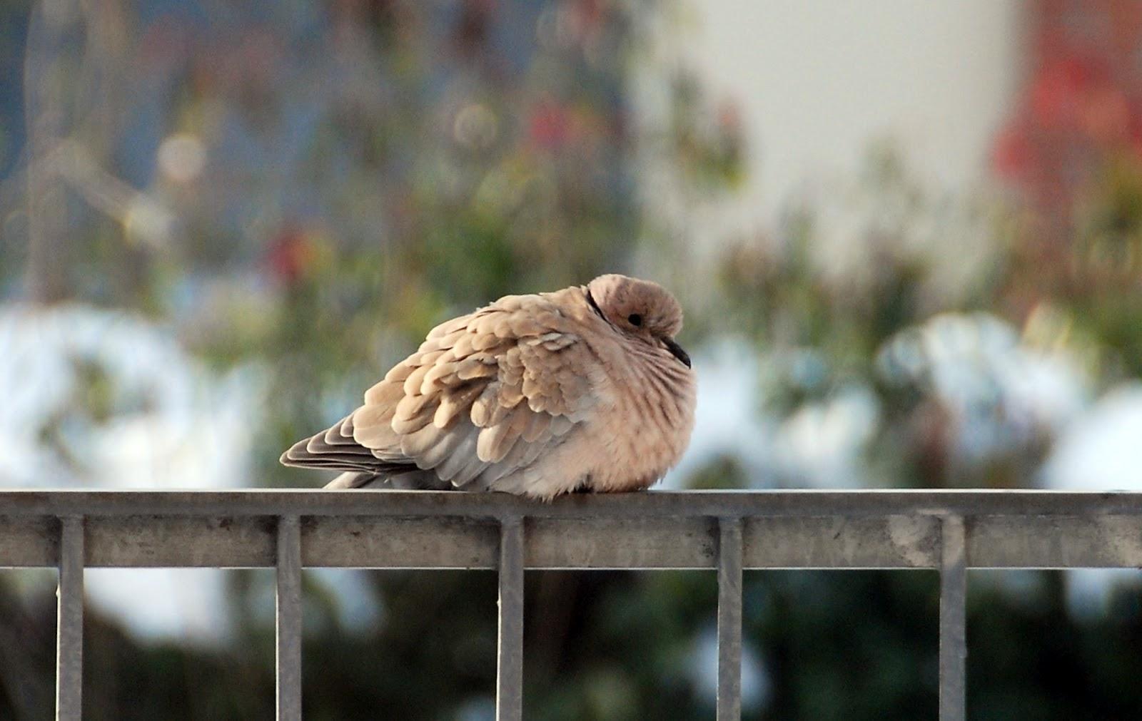 Nido Di Tortore Sul Balcone il mondo in un giardino: sole e tortore