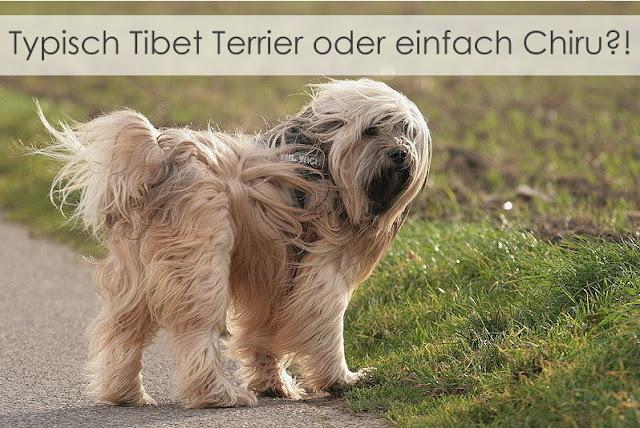 Tibet Terrier Chiru  - Tibet Terrier stellen gerne ihre Ohren auf Durchzug