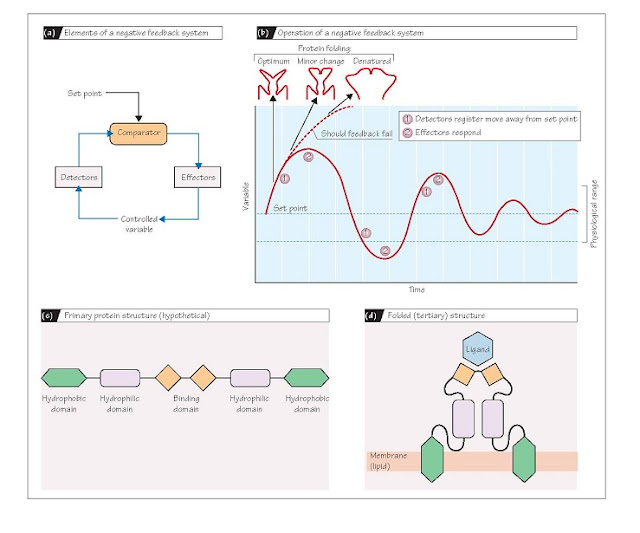 Homeostasis And The Physiology Of Proteins