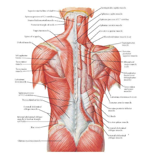 Muscles of Back: Superficial Layer Anatomy