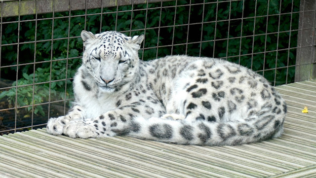 snow leopard at Paradise Wildlife Park