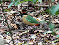 http://bo629hr.blogspot.nl/2000/01/pitta-lyrebirds.html
