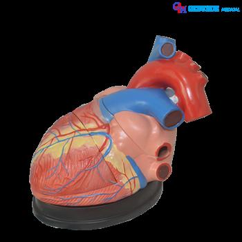 jual torso organ tubuh jantung murah