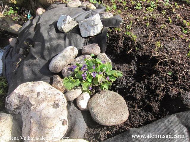 фиалка, камни, сныть, ива, геотекстиль, спанбонд, лутрасил, агроволокно, агротекс, нетканый материал, против сорняков, использование в огороде