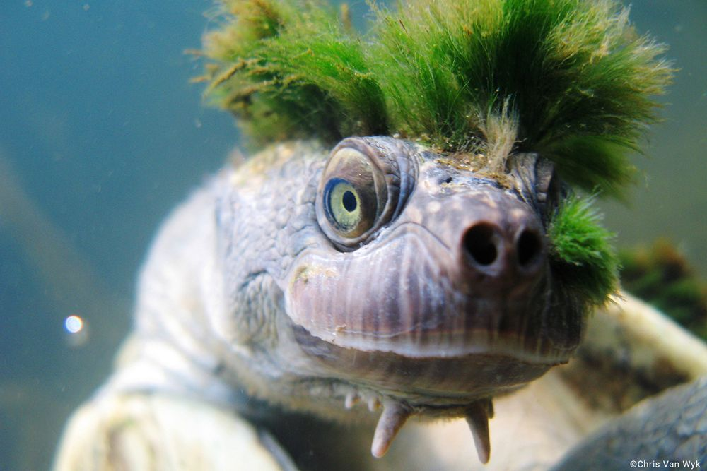 Green-Haired Mary River Turtle Mary-river-turtle-1