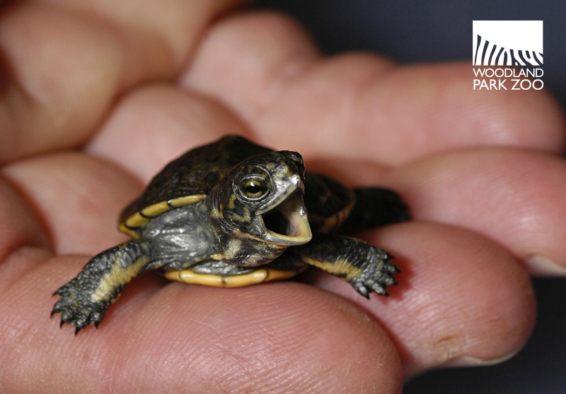 Woodland Park Zoo Blog: Big day for a little turtle
