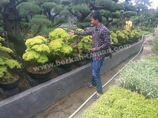 tanaman hias bonsai murah