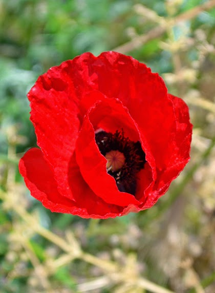 Poppy Flower - shewandersshefinds.com
