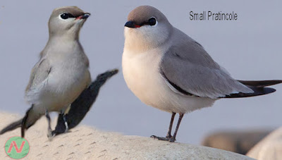small pratincole bird, বাবুই বাটান