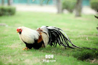 Gà Tân Châu Chuối Trắng Trích