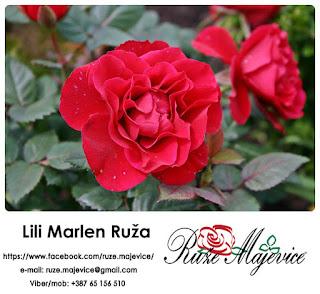 Ruža Lili Marlen - Predstavljamo pravu lepoticu