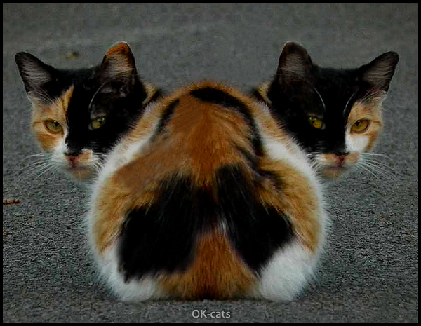 Photoshopped Cat picture •  Check out the weirdest cat ever, with 2 heads! Just breaking the rules