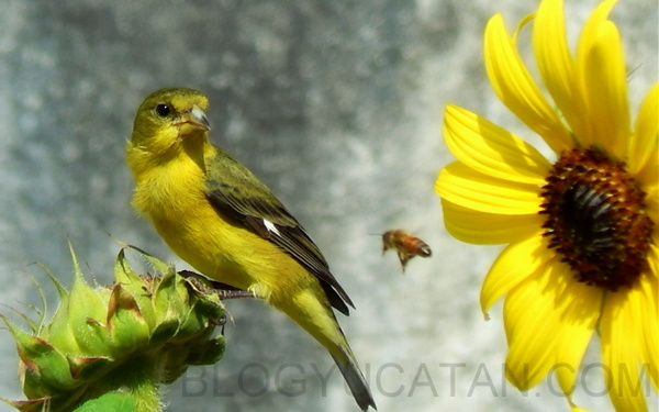 Lesser Goldfinch female