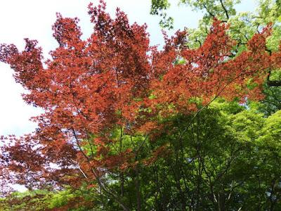 京都御苑・宗像神社(むなかたじんじゃ)5月の紅葉