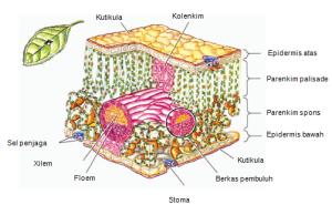 jaringan epidermis