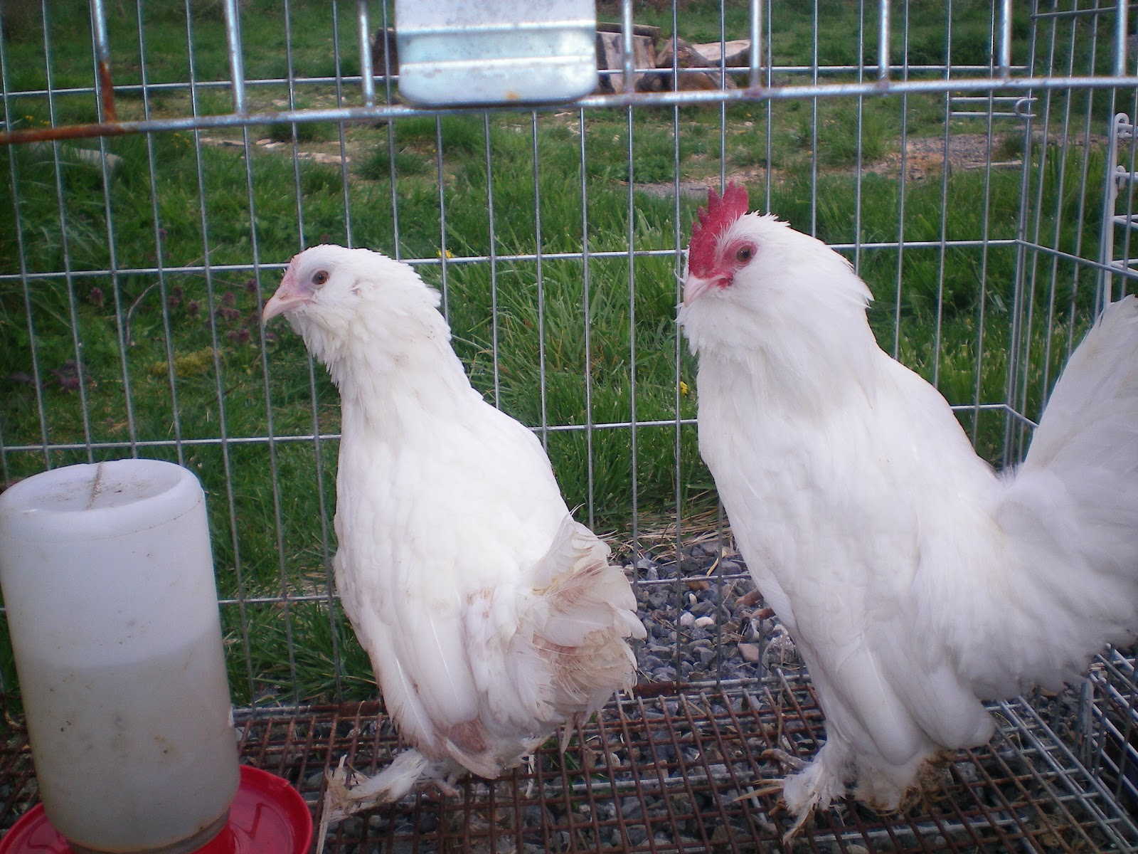 Self Blue Duccle Chickens