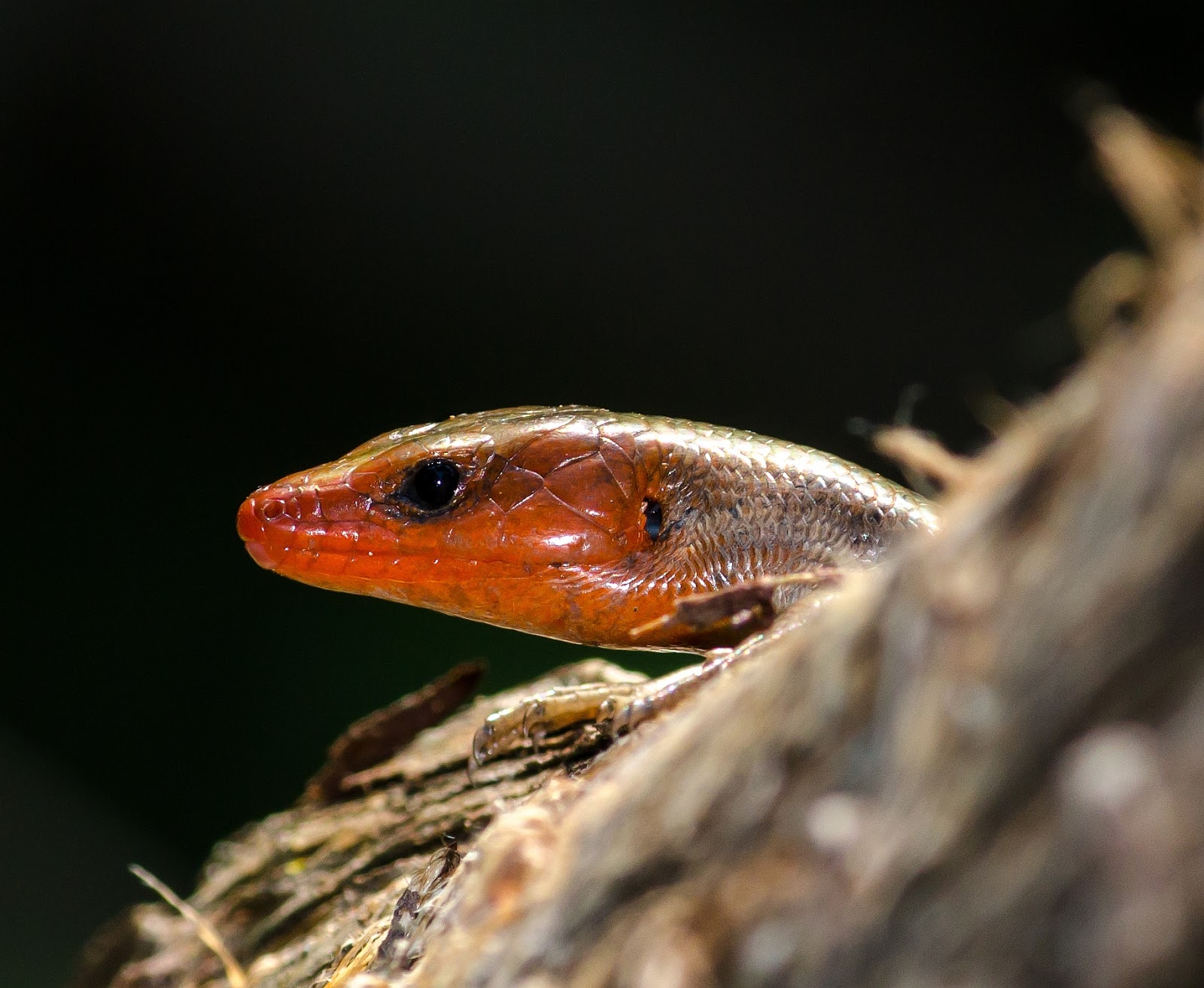 Five-Lined Skink male