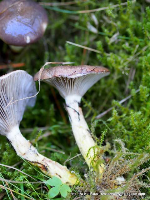 klejowka swierkowa, czop, slimak, tlusciocha, klejowka sluzowata, atlas grzybow, jaki to grzyb, grzyb jadalny, grzybobranie