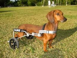 cão com dificuldade de locomoção