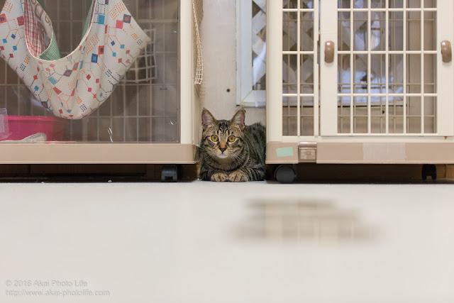 猫カフェ 西国分寺シェルターの警戒心が強いキジトラがケージの間に隠れて様子を伺っている写真