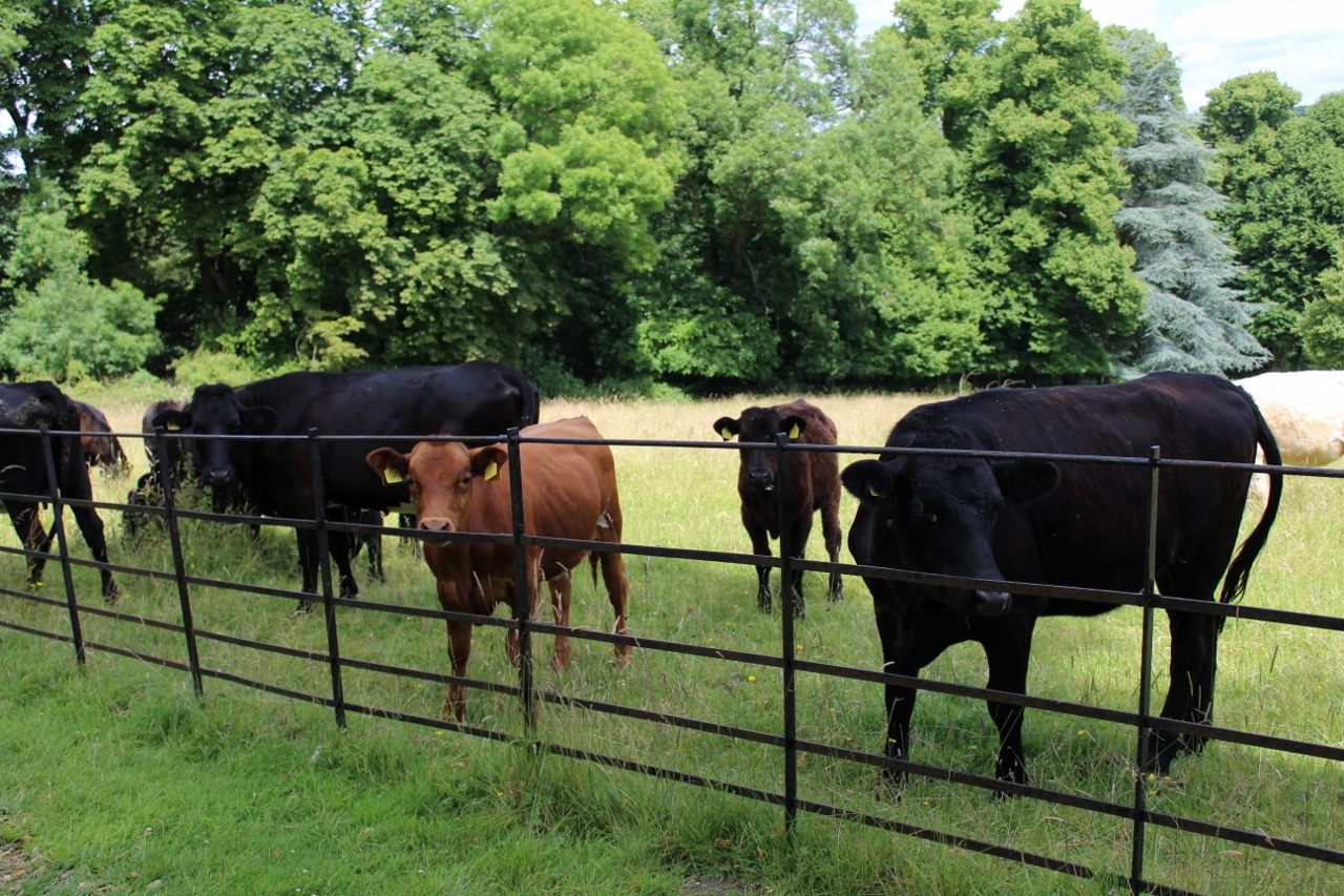 Cows and calves in the field at Basildon Park