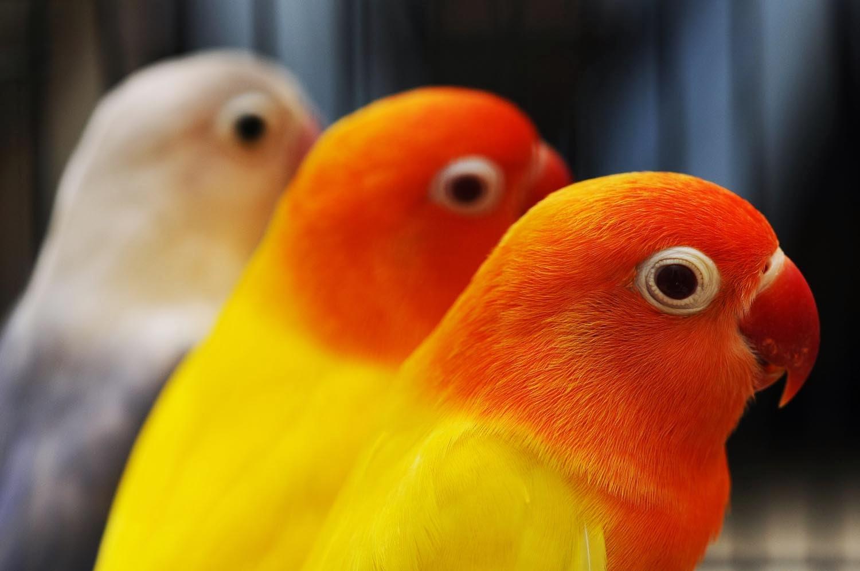 Informasi Harga Love Bird Hargaburung Informasi Harga Perkutut Kicau Cucak Om Hoby Update Daftar Harga Burung Lovebird 2014