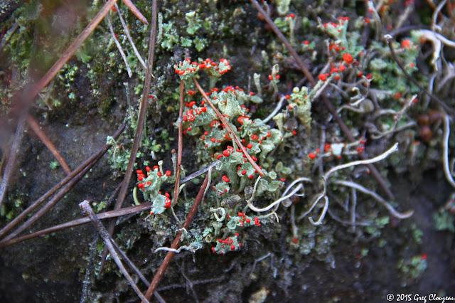Une fructification du lichen à Fontainebleau, (C) 2015 Greg Clouzeau