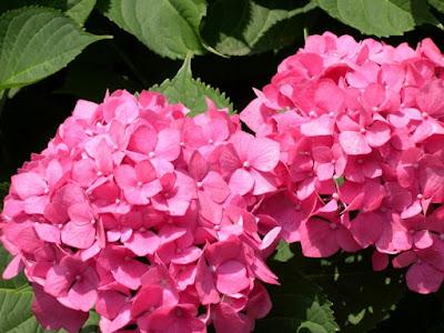 A hortênsia são venenosas. Quando ingerido em grandes quantidades, este veneno causa cianose, convulsões, dor abdominal, flacidez muscular, letargia, vômitos e coma.