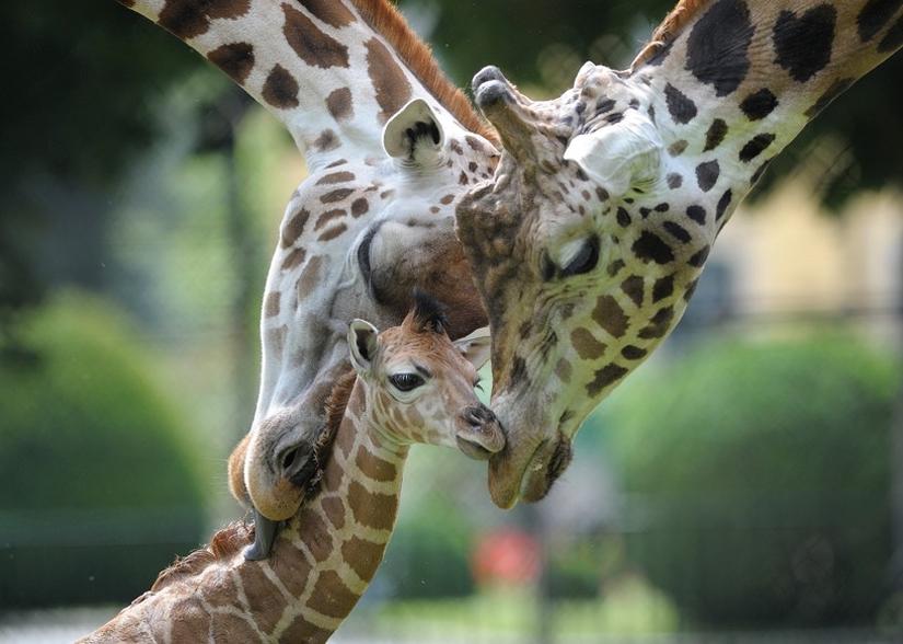 Cute!: Baby giraffe!