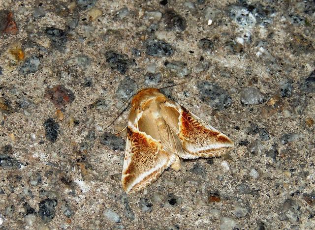 Habrosyne pyritoides con alas desplegadas