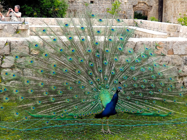 Peacock on Lokrum Island, Dubrovnik, Croatia