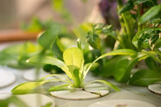 Sayuran Hidroponik Sawi Hijau