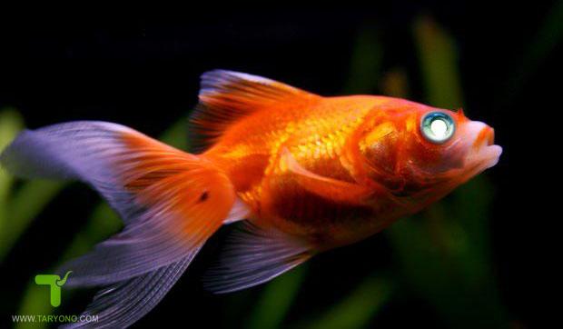 Cara Mengobati Penyakit Mata Putih Pada Ikan