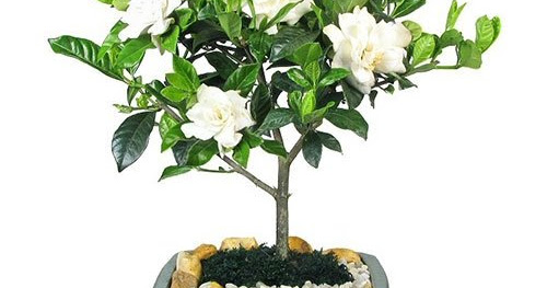 100 Pieces Gardenia Cape Jasmine Seeds