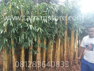 Pohon bambu kuning