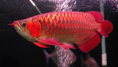 Makanan Ikan Arwana