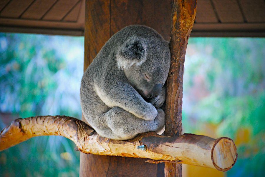 30 Adorable Photos Of Koalas Sleeping On Trees Best