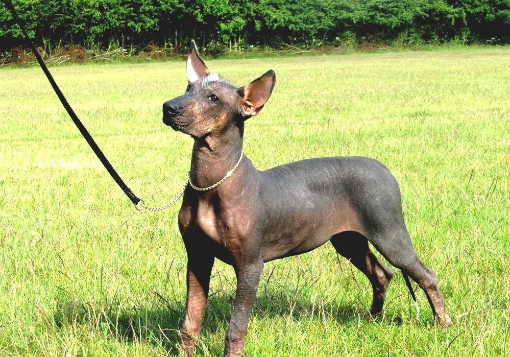 Mexican Hairless Dog -...
