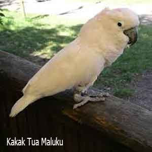 Kakak Tua Maluku