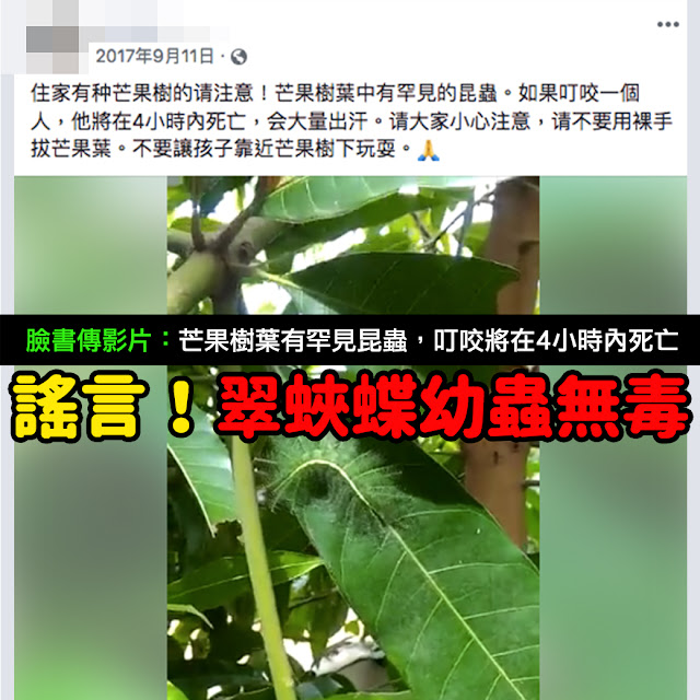 芒果樹葉中有罕見的昆蟲 如果叮咬一個人 他將在4小時內死亡 會大量出汗 影片 謠言 Facebook