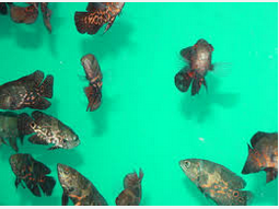 Ikan Hias Air Tawar Termahal Oscar kelompok