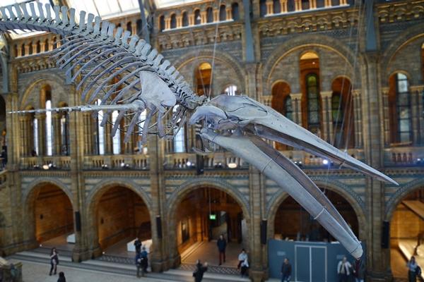 das riesige skelett hängt in dem Naturkundemuseum in London von der Decke