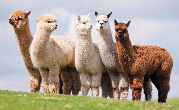 what-is-alpaca.jpg