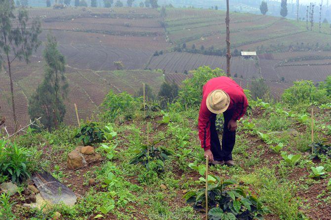 Pak Yamidi di lahan kopi area Posong