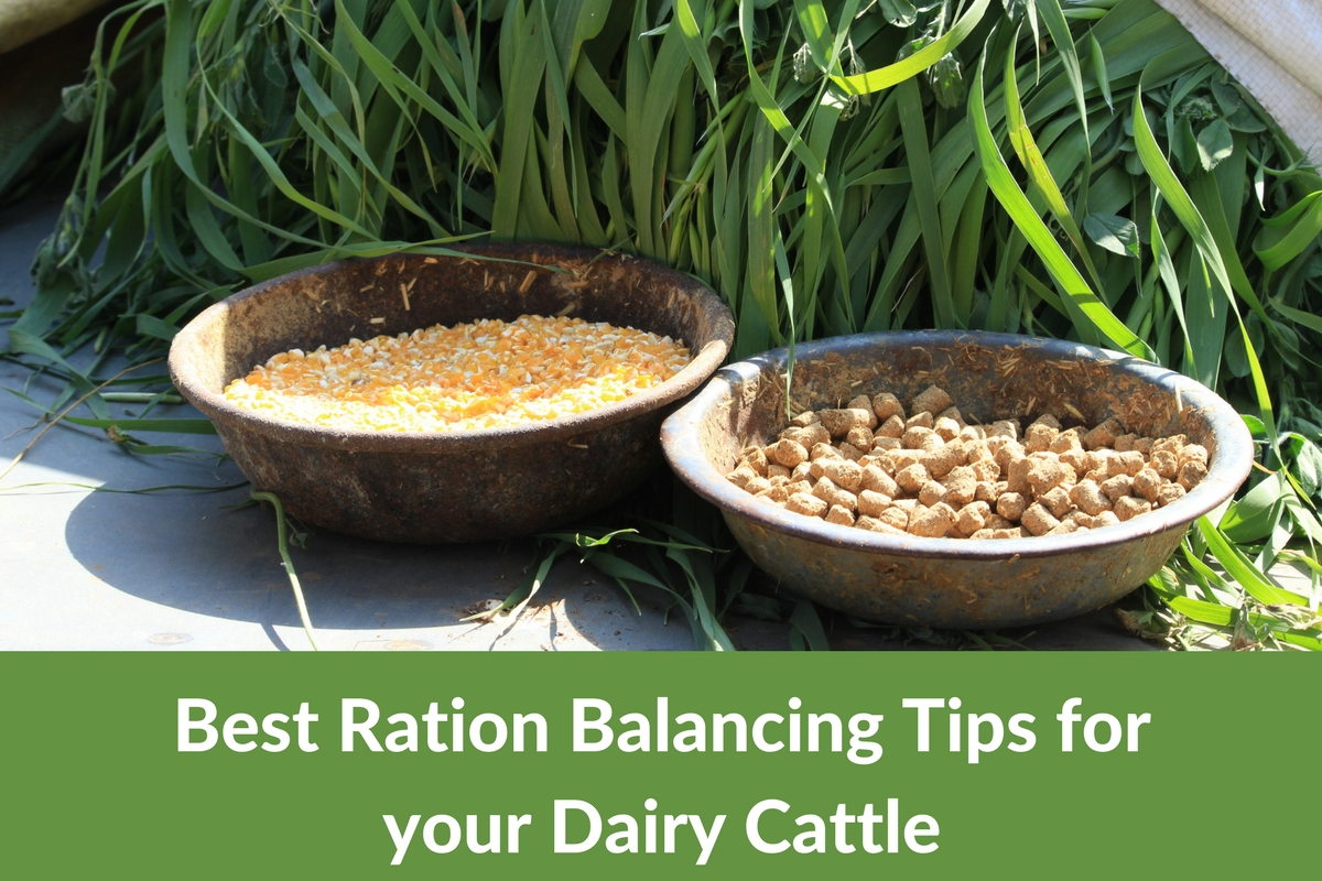 9 Healthy Feeding Practices for Dairy Calves and Weaners