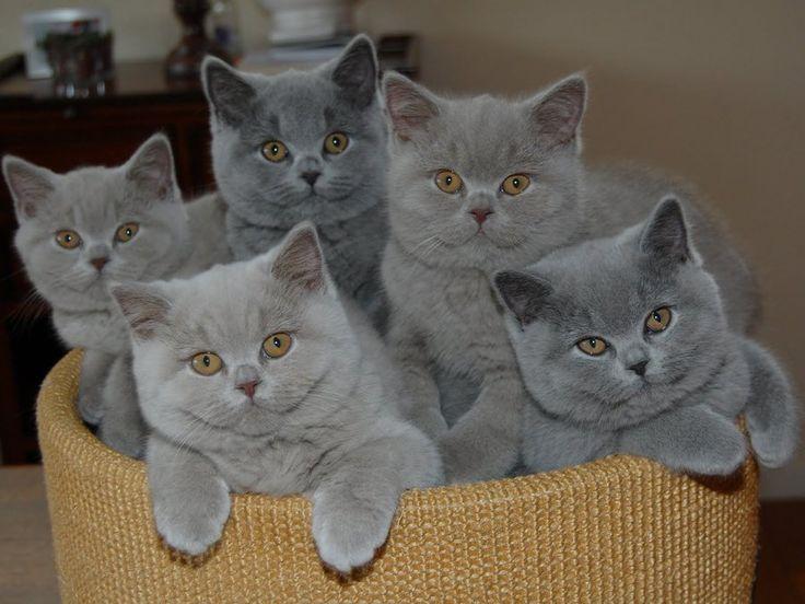 Kucing British Shorthair Atau Bsh Kucing Bulu Pendek Dengan Muka Imut Blog Kucing Shorthair
