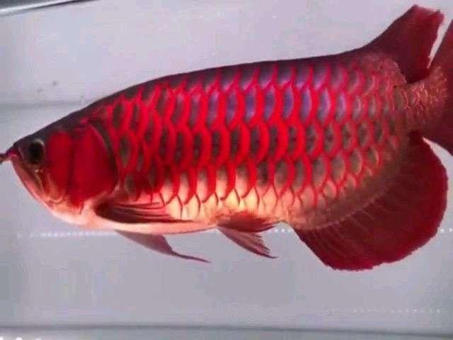 Gambar Ikan Arwana Super Red